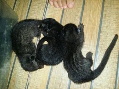 3 Ekor baby musang