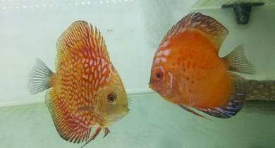 Disscus Fish