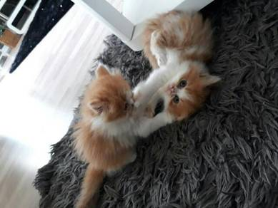 Persian male and female gold colour kitten ready
