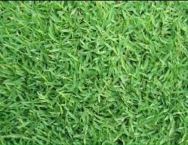 Philipin grass siap tanam dan bekal
