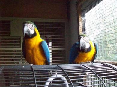 Male parrots