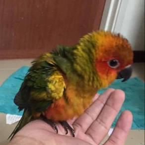 Burung sun conure