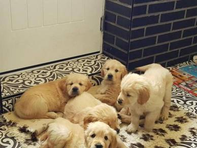 Socialize Golden Retriever puppies