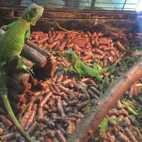 Green iguna
