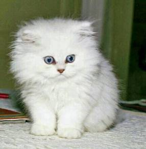Kucing parsi Lelong