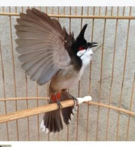Burung merbah jambul