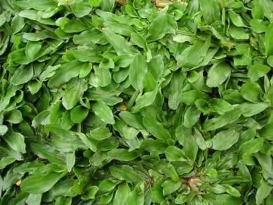 Rumput mutiara / pearl grass