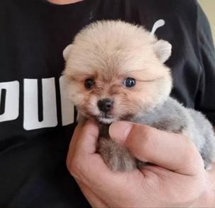 Toy Size Pomeranian Puppy ( Female )