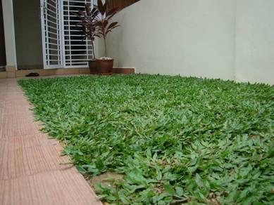 Rumput mutiara dan rumput carpet philipin