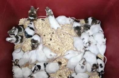 Tikus mice