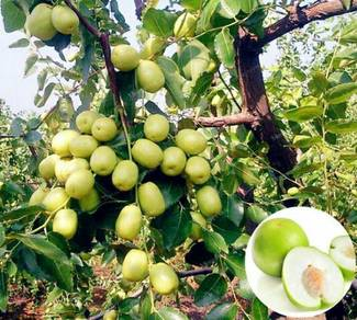 Pokok Bidara(Hybrid)
