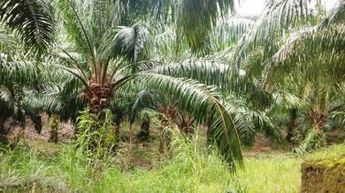 Kudat Oil Palm (Price reduced) - RM27K per acre